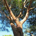 árbol de huanacaxtle