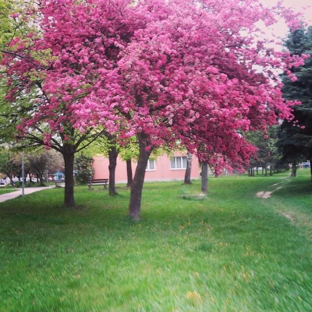 rbol de orqu dea bauhinia variegata l parques alegres