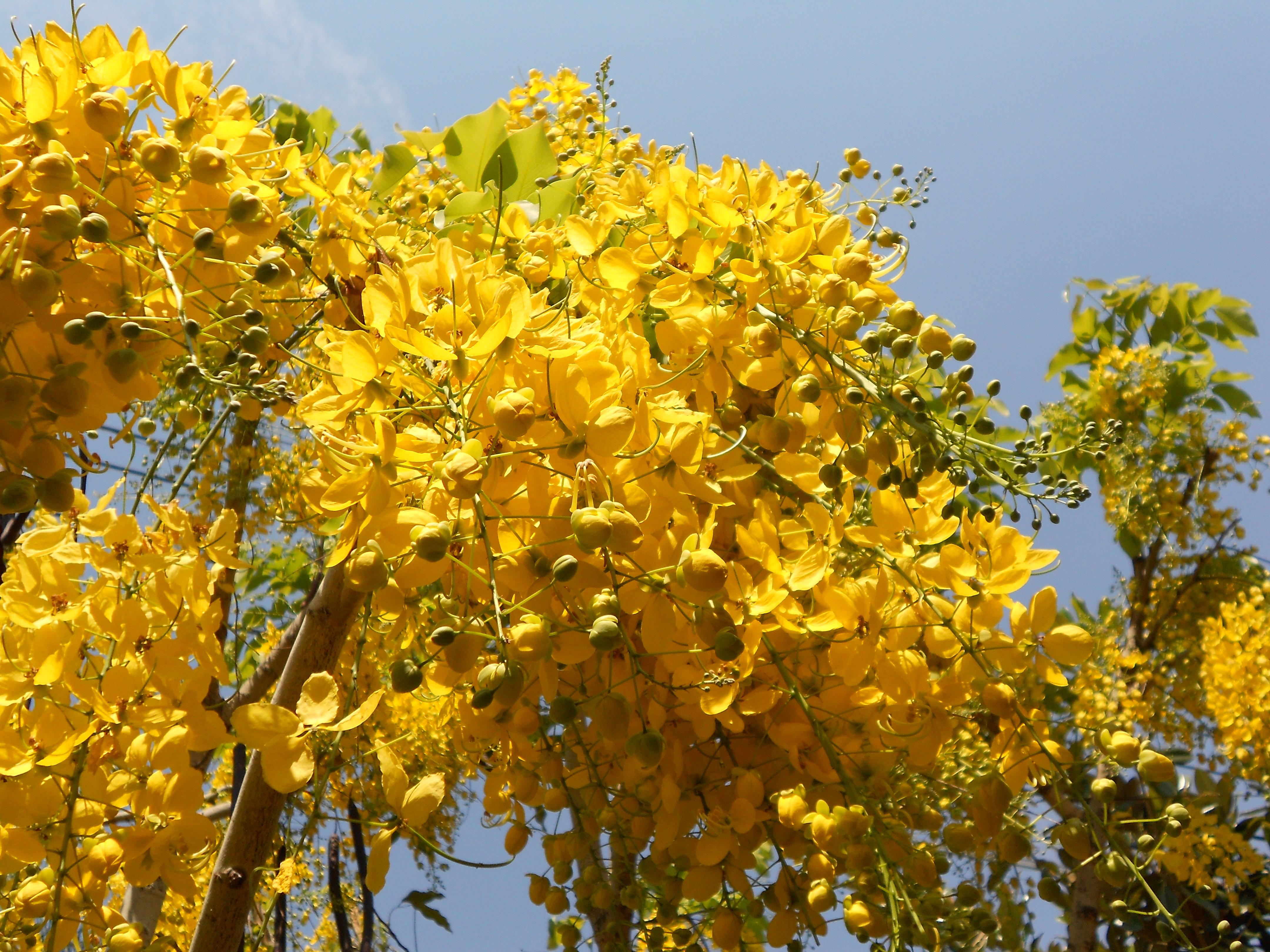 Árbol lluvia de oro (Cassia fistula) - Parques Alegres