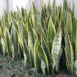 planta oreja de burro sansevieria trifasciata parques