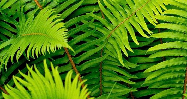 Planta de helecho o vasculares inferiores parques - Cuidados de los helechos ...