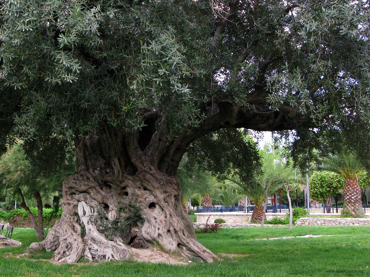 Rbol de olivo negro parques alegres i a p for Arbol con raices y frutos