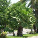 Palma de abanico