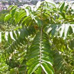 árbol de hule