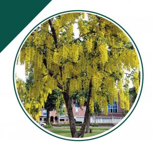 árbol-lluvia-de-oro