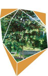 Árbol de Caimito