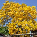 amapa amarilla
