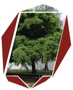 Árbol Ficus Benjamina