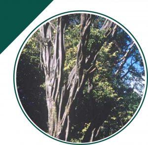 arbol-de-brasil