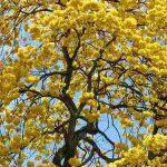 tabachin amarillo
