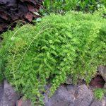 Planta de spring común