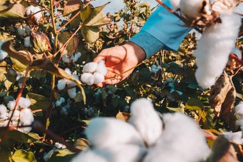 cuanto tarda en degradarse el algodon