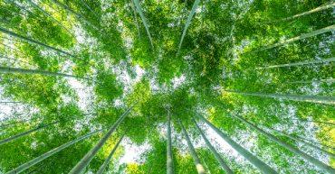 dia mundial del bambu